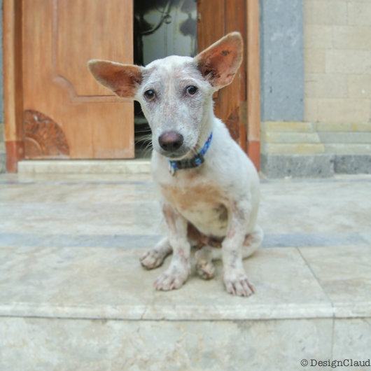 My Little Dog Adventure In Bali